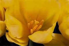Texturerat rent djupt - gul tulpan Royaltyfria Bilder