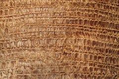 Texturerat skäll av en palmträd Royaltyfri Bild