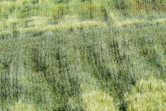 Texturerat vetefält Arkivbild