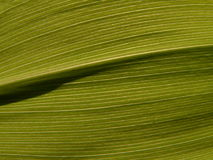 Textures 13. Leaf of the lily of the valley Royalty Free Stock Photos