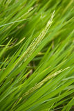 Textures 2 de riz Photographie stock