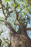 Textures of Bearded Mossman Trees, Australia royalty free stock image