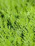 Textures of coniferous leaves close-up Stock Photos