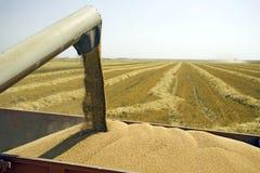 Textures de blé Photographie stock libre de droits