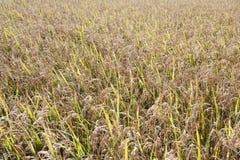 Textures de gisement de riz Image stock