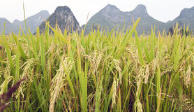 Textures de riz à Guilin Photos libres de droits