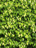 Textures of ficus leaves close-up Stock Image