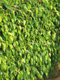 Textures of ficus leaves close-up stock images