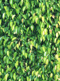 Textures of ficus leaves close-up royalty free stock photography