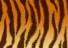 Textures - fluffy skin of a tiger Royalty Free Stock Photography