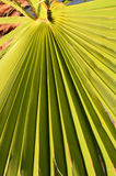 Textures Of Green Palm Leaves Royalty Free Stock Photography