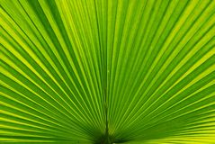 Textures Of Palm Frond Stock Photo