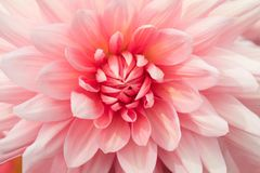 Textures pink flower close-up detail. By Macro lens Stock Photography