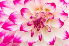 Textures pink flower close-up detail Stock Photo