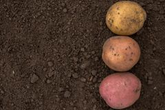 Textures plenty of fresh unpeeled potatoes harvested from the fi. Textures plenty of fresh uneeled potatoes harvested from the field without pesticides and Royalty Free Stock Image