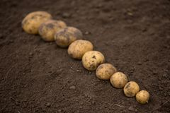 Textures plenty of fresh unpeeled potatoes harvested from the fi. Plenty of fresh uneeled potatoes harvested from the field without pesticides and nitrates. From Stock Image