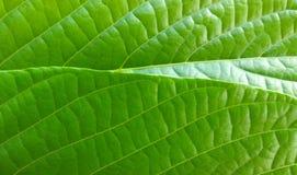 Textures vertes de feuille Photographie stock libre de droits