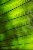 Textures vertes de feuille de caladium Photos libres de droits