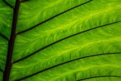 Textures vertes de feuille de caladium Photographie stock