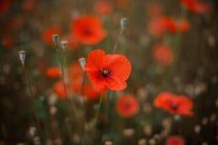 Texturice el fondo de la flor roja derecha brillante del poppie Imagenes de archivo