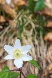 Texturice el fondo que representa una flor blanca sobre las plantas blury del bosque Imagenes de archivo