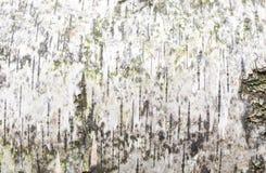 Texturice el gris blanco del fondo del abedul de la corteza con las mini líneas negras de madera Fotografía de archivo