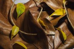 Texturice el modelo de las hojas de otoño marrones y amarillas de la magnolia ro Fotografía de archivo libre de regalías
