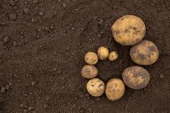 Texturiza el un montón de patatas sin pelar frescas cosechadas del fi Imagen de archivo