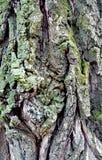 Texturskäll av trädet Arkivfoton