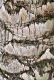 Textuur en kleur van de boomstamoppervlakte van de plamboom Royalty-vrije Stock Afbeeldingen