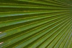 Textuur groen palmblad als achtergrond Royalty-vrije Stock Fotografie