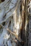 Textuur van banyan boom Stock Foto