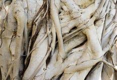 Textuur van banyan boom Stock Afbeelding