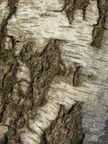Textuur van berkeschors met groen mos wordt behandeld dat royalty-vrije stock fotografie
