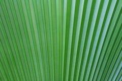 Textuur van bladeren van Livistona-rotundifolia stock afbeelding