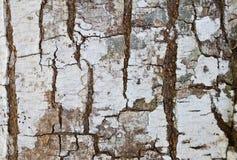 Textuur van boomschors Royalty-vrije Stock Afbeeldingen