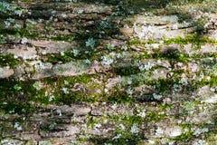 Textuur van boomschors met groen mos, achtergrond stock afbeeldingen