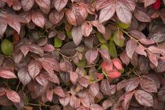 Textuur van de herfst de rode bladeren, textuur stock afbeelding