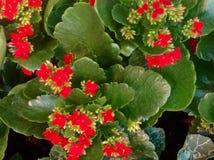Textuur van de Kalanchoe de rode bloem stock afbeeldingen