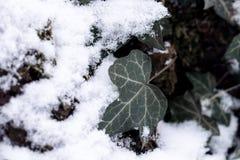 Textuur van de schors van een boom met sneeuw en met klimplanten wordt behandeld die stock afbeelding