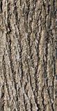 Textuur van de schors van een Linde stock fotografie