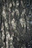 Textuur van de schors van de berkboom Stock Foto's