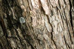 Textuur van de schors van een boom Stock Afbeeldingen