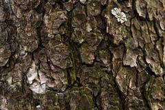 Textuur van de schors van een boom Houten achtergrond Stock Foto