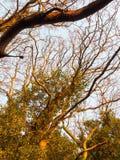 textuur van de de takken gouden lichte omhoog naakte schors van de zonlichtzonsondergang de donkere Royalty-vrije Stock Afbeeldingen