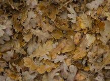 Textuur van de vallen-beneden eiken bladeren in het hout tijdens een regen Royalty-vrije Stock Fotografie