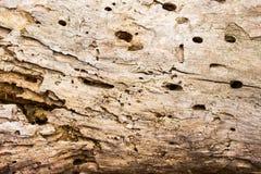 Textuur van droog hout met gaten verlaten insectenclose-up royalty-vrije stock afbeeldingen
