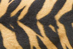 Textuur van echte tijgerhuid (bont) Royalty-vrije Stock Afbeelding