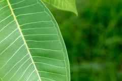 Textuur van een groen blad als achtergrond Stock Fotografie