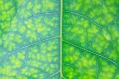 Textuur van een groen blad als achtergrond Royalty-vrije Stock Foto